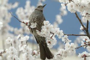 満開の桜とひよどり