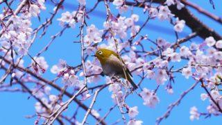 満開の桜とメジロ