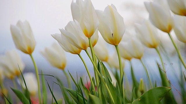 白色のチューリップの群生
