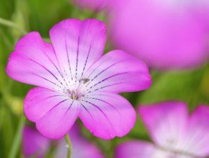 鴻巣市ポピーまつりで楽しめる麦なでしこの花