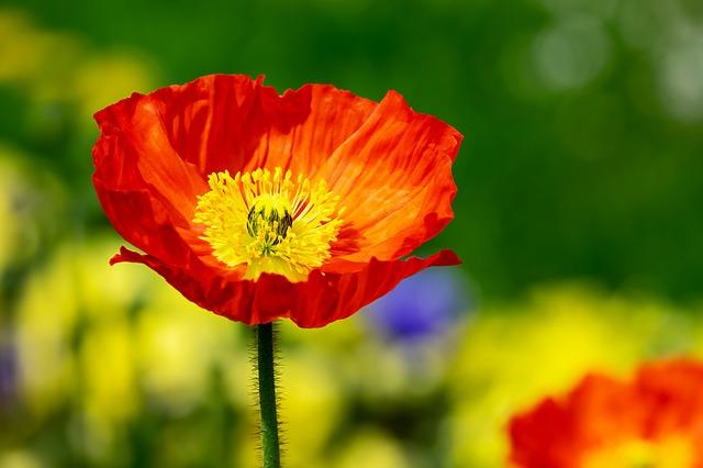 オレンジ色のポピーの花
