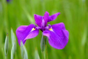 北山公園の紫色の菖蒲