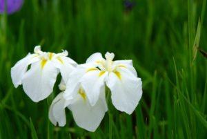 北山公園の白い菖蒲