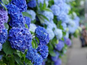 飛鳥山公園の青の紫陽花