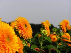 八重ひまわりの花の群生