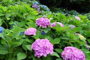 飛鳥山公園のピンクの紫陽花