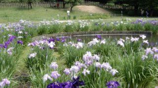 東村山菖蒲まつりの風景