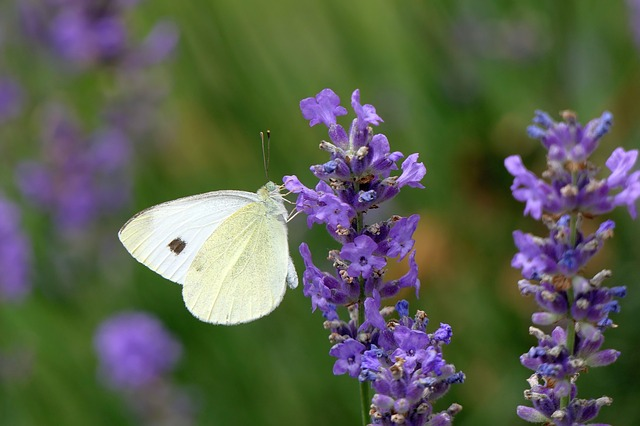 ラベンダーと白い蝶