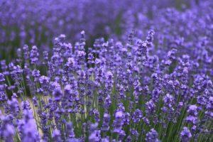 青い花を咲かせるラベンダー