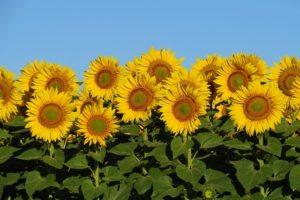 ひまわりの花の群生