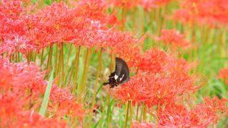 彼岸花の群生と蝶