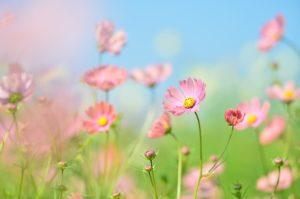 群生するコスモスの花