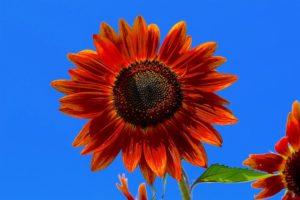 赤い花のひまわり
