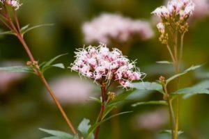 秋の七草の藤袴