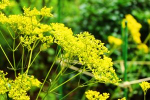 秋の七草の女郎花