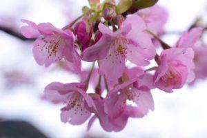桃色の河津桜