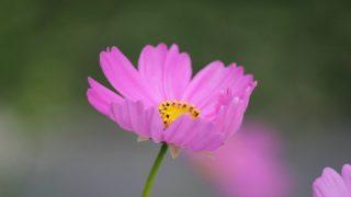 可憐に咲くコスモスの花
