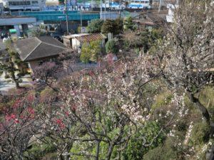 池上梅園見晴らし台からの梅