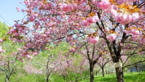 長瀞の八重桜