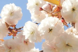 八重桜(フゲンソウ)