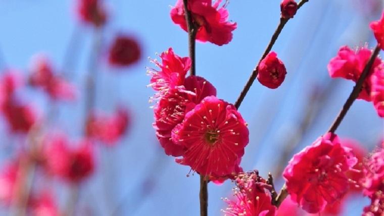 小石川後楽園の紅梅