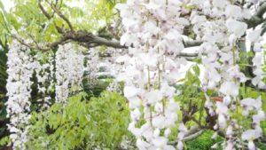 白色の藤の花