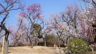 羽根木公園の梅林