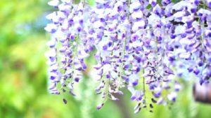 薄紫に咲く藤の花