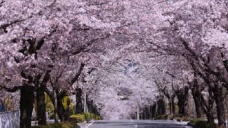 長瀞町の桜並木