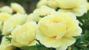 黄色の牡丹の花