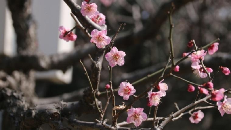 赤塚溜池公園の梅