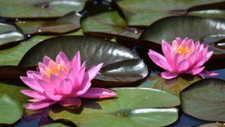 ピンクの睡蓮の花