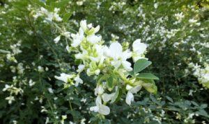 萩の白い花