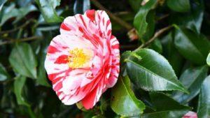 2色咲きの椿